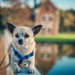 Wofür werden Chihuahuas gezüchtet?
