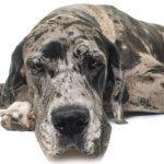 Wie groß werden Deutsche Doggen? (+ Info für gemischte Rassen)