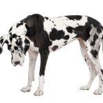 Wie man Deutsche Doggen beruhigen kann
