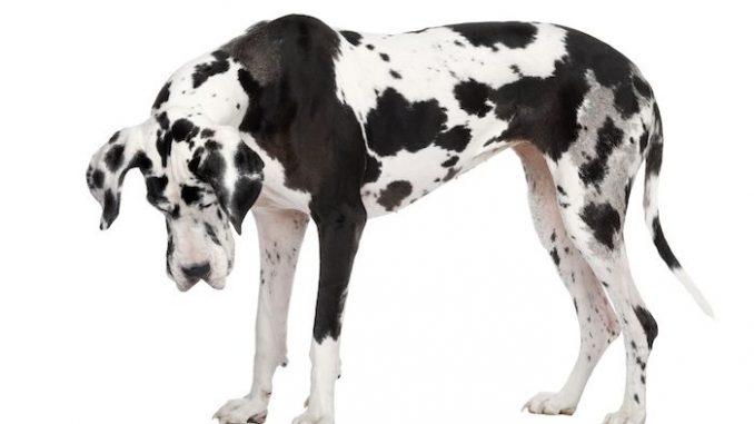 Deutsche Dogge beruhigen