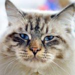 Verstehen sich Möpse mit Katzen?