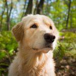 Rottweiler/Retriever-Mischung (Goldener Rottweiler): Anleitung