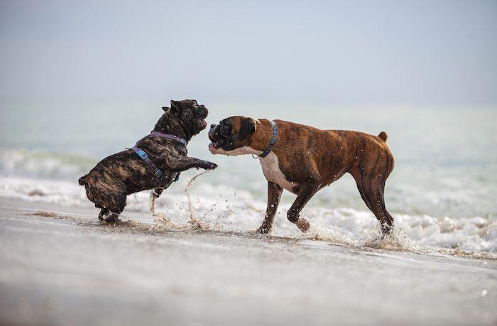 Mini-Boxer und Bulldogge spielen