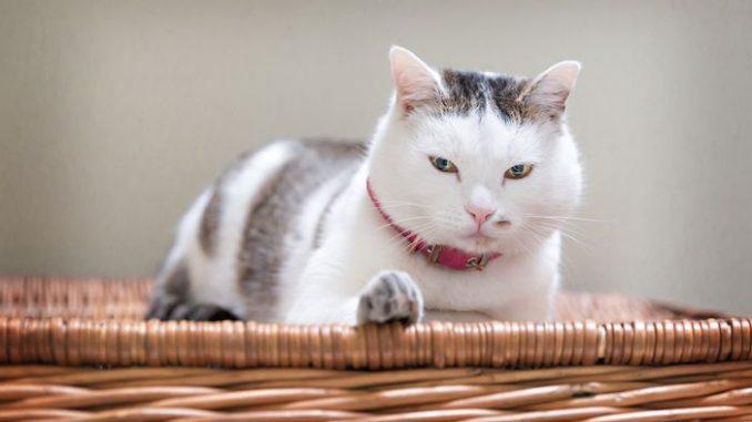 Katzenschnurren gut für die Gesundheit